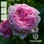 Розово-сиреневый