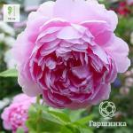 Лилово-розовый