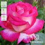 Темно-розовый