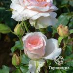 Белый с нежно розовым