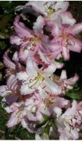 Бело розовый