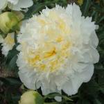 Бело желтый