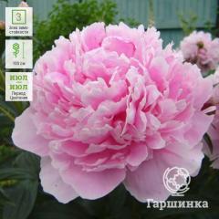 Розово сиреневый
