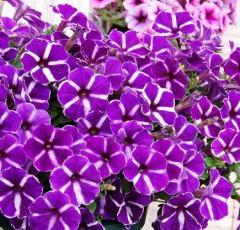 - Purple Gem