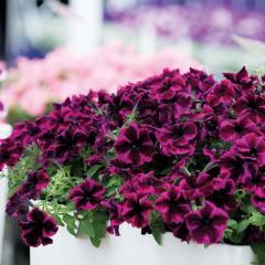 -Cosmic Purple, ряд 125