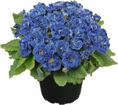 -Belarina Baltic Blue