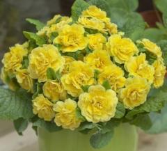 -Rosette Buttercup Yellow