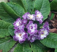 -Lively Lilac