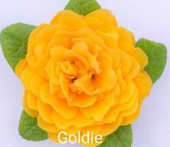 -Goldie