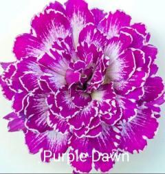 -Purple Dawn