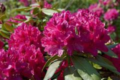 рубиново-розовый