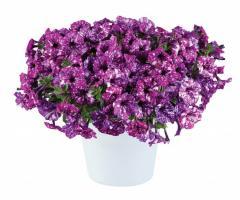 -Purple Polka