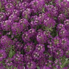 -Purple