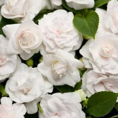 -MUSICA Pure White