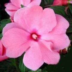 -Petticoat Pink