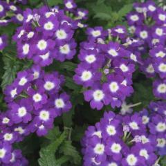 -Empress Flair Purple Charme