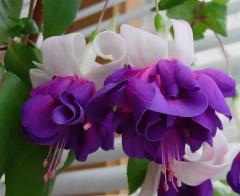 -Deep_Purple