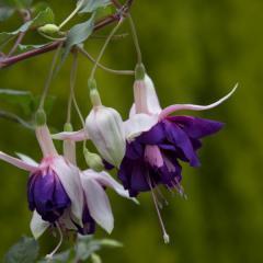 -royalmosaic, Ампель, сильный рост. очень крупные махровые цветки.