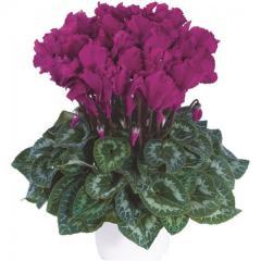 -Halios Curly Violet Vif