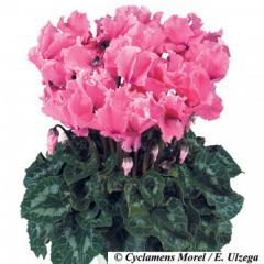 -Halios Curly Rose