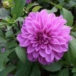 Lilac Bull