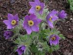 vulgaris Violet Bells
