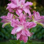 Lotus Wonder