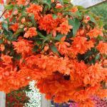 Pendula Cascade orange